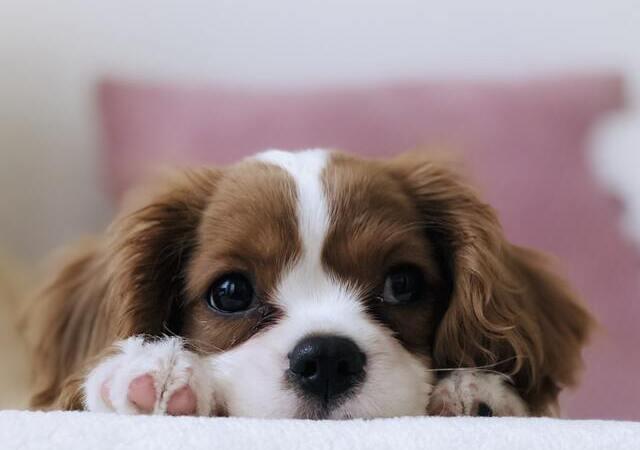 Brown and White Dog Peeking from Sofa